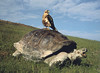 Galapagos Hawk with Tortoise
