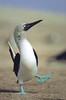 Male Blue Footed Booby